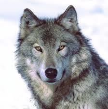 Ronald Frencken shoc - Wolf